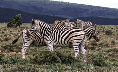 reference group of zebras